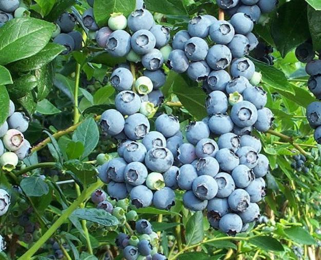 Голубика полезные свойства, выращивание