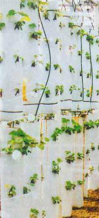 Голландская технология выращивания клубники в мешках