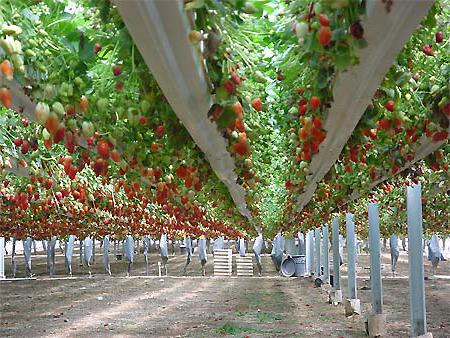 Как выращивать клубнику дома