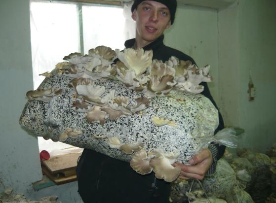 Разведение грибов вешенка домашних условиях